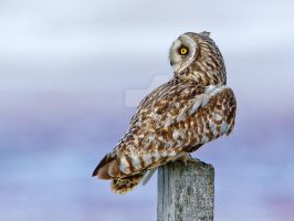 Purple haze - Short-eared Owl by Jamie-MacArthur