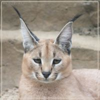 Caracal 6 by Globaludodesign