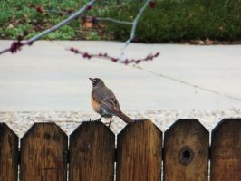 Robin on the Fence by XxSilverOwl13xX