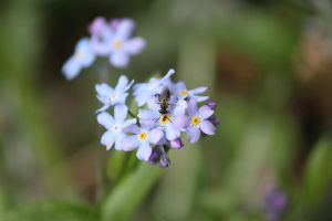 Forget me not little flie by Dodephine