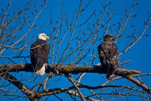 Eagle and eaglet by Robby-Robert