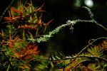Lichen on Yew by EarthHart