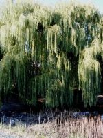 Old Willow Trees by ice-queen-blue