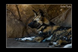 African Wild Dogs I by XetsaPhoto