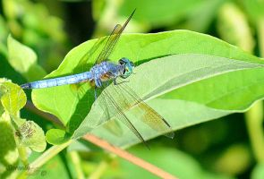 Dragonfly Series (Blue Dasher) by sioranth