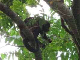 Costa Rica: Howler Monkey by emilyg2014