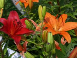 Orange Red Asiatic Lily 1 by racheltorres921