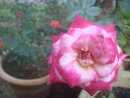 pink rose by plainordinary1