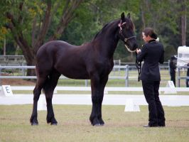 STOCK - Friesian Show 2012-58 by fillyrox