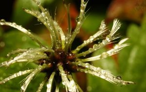 Dew Drops III by webcruiser