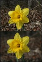 Daffodil by Tuftless