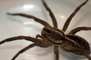 Wolf Spider 2 by ShannonIWalters