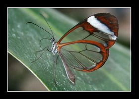 Transparent wings by SpringlighT