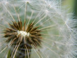 Taraxacum officinale by Laura78687