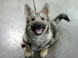 Smiling Vallhund Puppy by DreamEyce