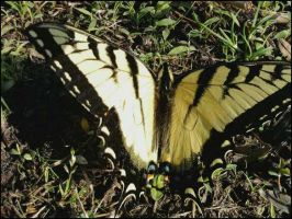 Swallowtail Butterfly by strangmusicobsession