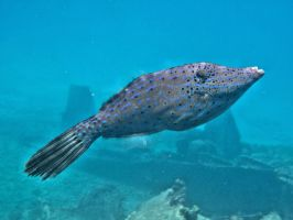 Filefish by Lauren-Lee