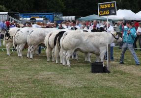 cattle line-up by Cyril-Helnwein