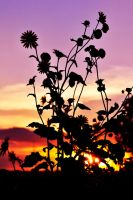 Sun Flower Silhouette by SublimeBudd