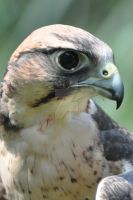 Lanner Falcon by Guard-of-the-Citadel