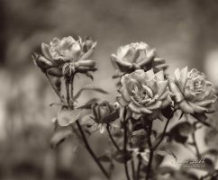 Old Time Roses by JessicaDobbs