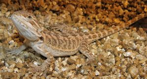 Juvenile Bearded Dragon by redtailhawker