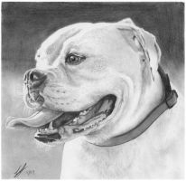 Staffy Drawing by bivoirart