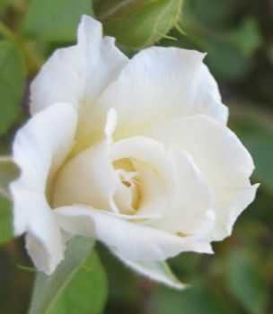 Rose 061414 08 by acurmudgeon