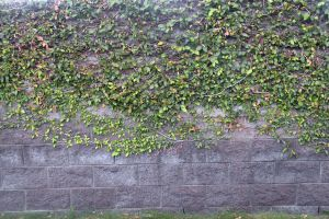 Stock - Ivy Wall by phatpuppy