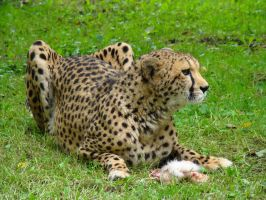 Stock 424: cheetah eating 1 by AlzirrSwanheartStock