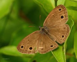 Little Wood Satry Butterfly by natureguy