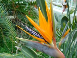 Bird-of-paradise by Ommadawn