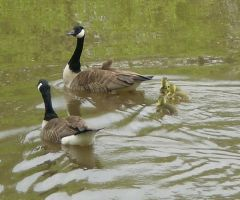 gooses and geeses and babies by amiha