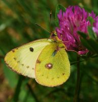 Pale Clouded Yellow by theodoraevergreen