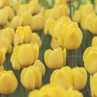 Yellow Tulips by gwyrith