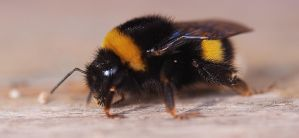 Big bee by Nataly1st