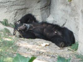 spectacled bear by nefasia