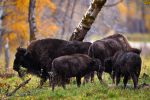 Plains Bison-Sibling Affection by JestePhotography