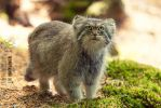 Pallas's cat. by Ravenith
