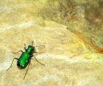 Awesome Tiger Beetle by Stock7000