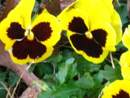 yellow pansies by crazygardener