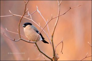 Bullfinch female by Swordtemper