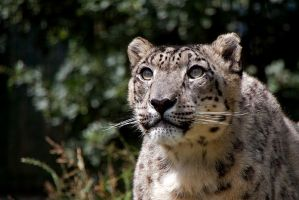 Snow Leopard 1 by SnowPoring