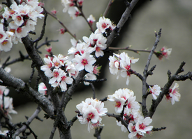 Almond blossoms by krigl