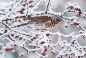 Winter Fieldfare by NicoFroehberg