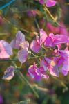 Flower 1887_sweet pea by MaGeXP