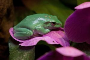 Giant Tree Frog by secondclaw