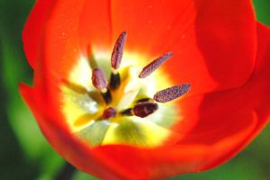 Red Tulip by RelttasTezcatlipoca