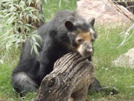 Andean Bear by Deede25