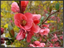 Japanese Quince by lost-in-maze